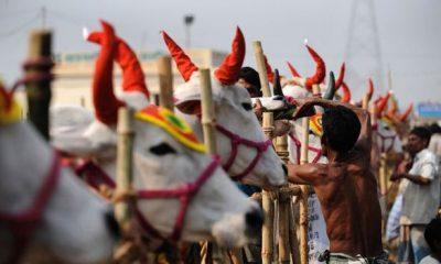ভারতের কঠোর পদক্ষেপ যেভাবে বাংলাদেশের গরু খামারিদের জন্য আশীর্বাদ হয়ে গেল
