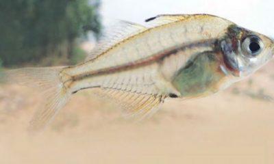 চান্দা মাছ এখন আর দেখাই যায় না।