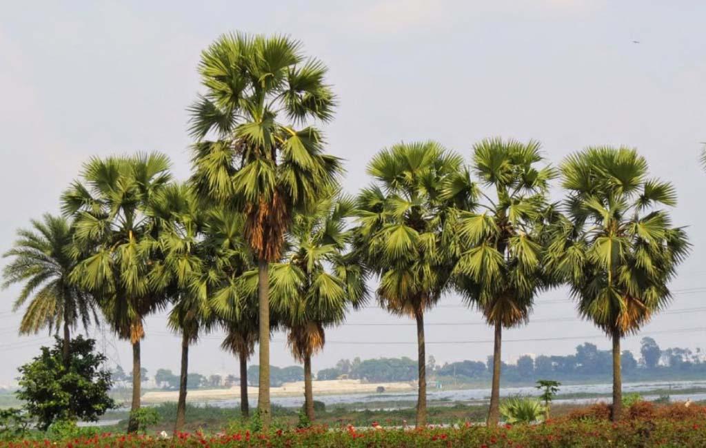 'বজ্রপাতের প্রভাব মোকাবিলায় ৩৮ লাখ তালগাছের চারা রোপণ'
