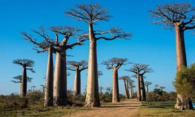 আফ্রিকান বেওবাব। আয়ু ২,০০০ বছর