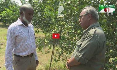 চুয়াডাঙ্গার দামুড়হুদায় দেশের বৃহৎ মালটা বাগান