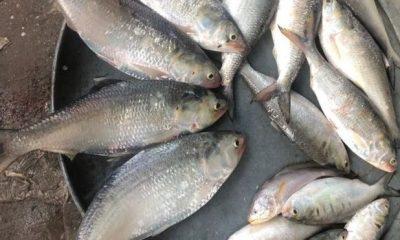 পিরোজপুরের কচা নদী থেকে ধরে আনা তাজা ইলিশ মাছ বিক্রির জন্য সাজিয়ে রাখা হয়েছে