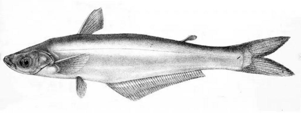 বাচা গোত্রের শিলং মাছ