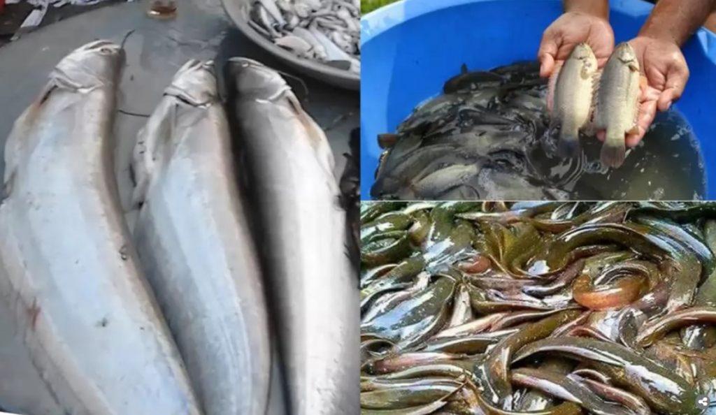 বোয়াল, কই,শিং মাছ রপ্তানি হচ্ছে