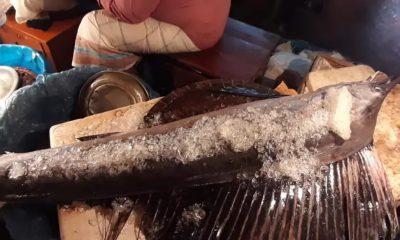 সামুদ্রিক এই মাছটির পিঠে থাকা পাখনার কারণেই ব্যবসায়ীরা এর নাম দিয়েছে পঙ্খিরাজ
