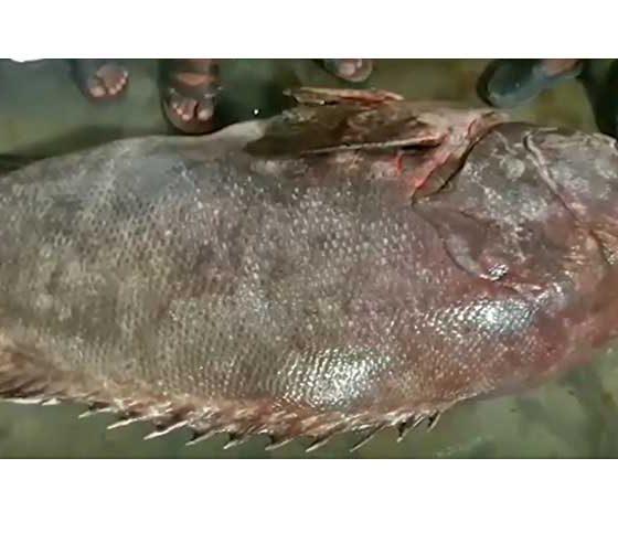 ১৩৭ কেজি ওজনের 'কৈভোল' মাছ বিক্রি হলো লক্ষাধিক টাকায়