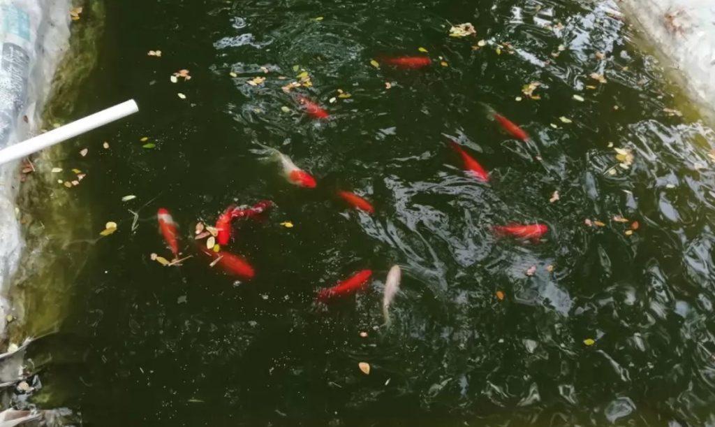 জীবন রাঙাতে রঙিন মাছ চাষ