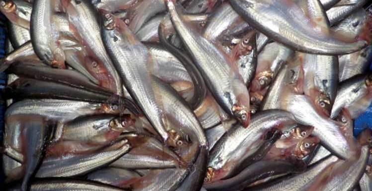 নিজেই চাষ করুন পাবদা মাছ