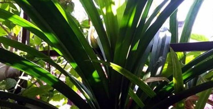 খাবারের স্বাদ পোলাও পাতা গাছ