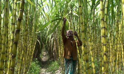 টাঙ্গাইলে বাড়ছে আখের আবাদ, ভালো দামে লাভবান চাষীরা