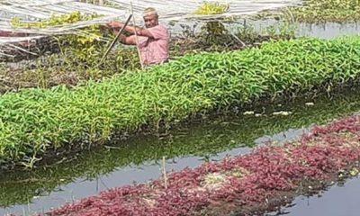 কচুরিপানার বেডে বিষমুক্ত ভাসমান সবজি চাষে ঝুঁকছে কৃষক
