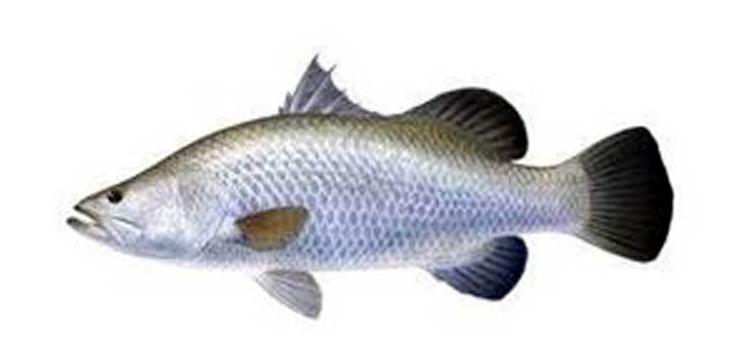 কীভাবে করবেন ভেটকি মাছ চাষ