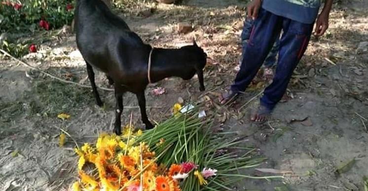 গরু-ছাগলে খাচ্ছে গদখালির ফুল