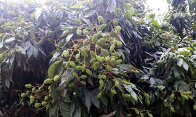 দিনাজপুরে-সোয়া-দুই-কোটি-লিচু-গাছ-নিয়ে-স্বপ্নে-বিভোর-চাষিরা