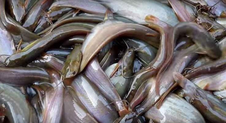 দেশি সুস্বাদু লাভজনক শিং মাছের চাষ পদ্ধতি
