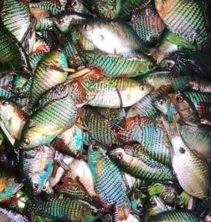 ঐতিহ্যবাহী দেশীয় মাছ