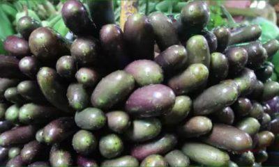 বিটি-বেগুনে-পোকার-আক্রমণ-বন্ধ-হয়নি