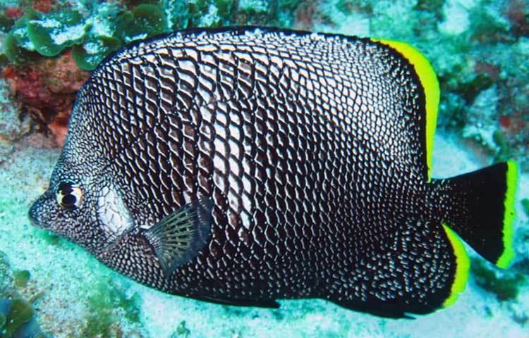 বিশ্বের-সবচেয়ে-দামী-মাছ