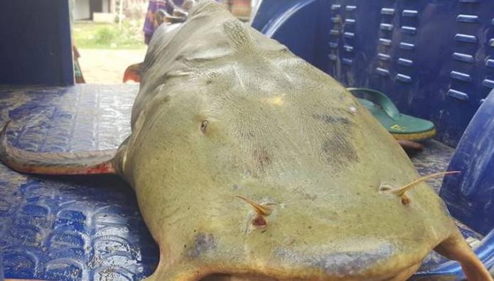 ৫০ কেজি ওজনের একটি বাঘাইড় মাছ