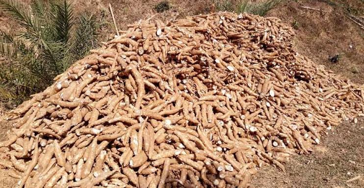 কাসাভা চাষে সফল খাগড়াছড়ির কৃষকরা