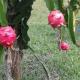 পটুয়াখালীতে উৎপাদিত হচ্ছে ড্রাগন ফল