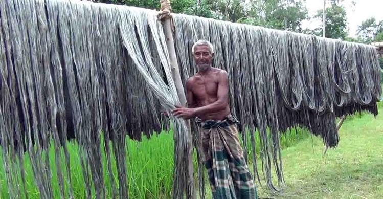 পাটের দামে কৃষকের মুখে সোনালি হাসি