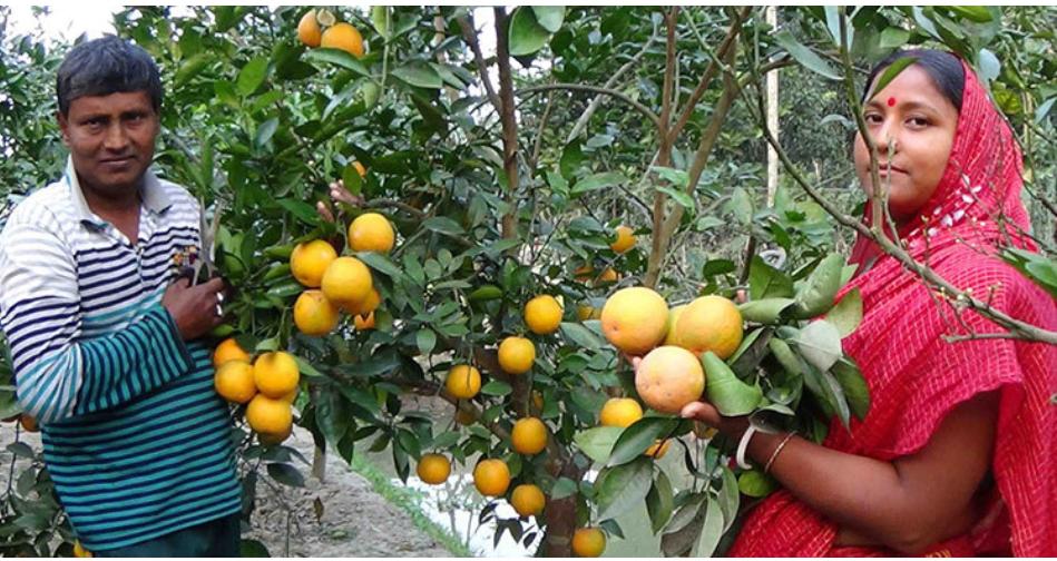 মাল্টা চাষে স্বাবলম্বী পিরোজপুরের বেকার যুবকরা