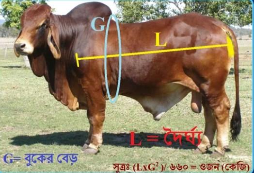জনপ্রিয়তা পেয়েছে 'লাইভ ওয়েট' পদ্ধতিতে কোরবানির গরু বিক্রি