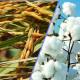 পরীক্ষার অনুমোদন পেল ৬ বিটি-ট্রান্সজেনিক ফসলের বীজ