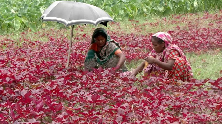 রোদেলা সকালে গ্রামীণ মাঠে লালশাক তুলছেন নারীরা। দিনমান শাক তুলে মজুরি পান ২০০ থেকে ২৫০ টাকা