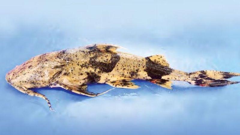 বাঘাইর মাছ