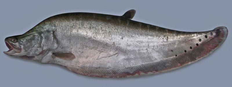 চিতল মাছ