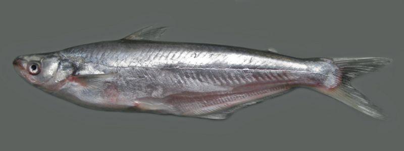 শিলন মাছ