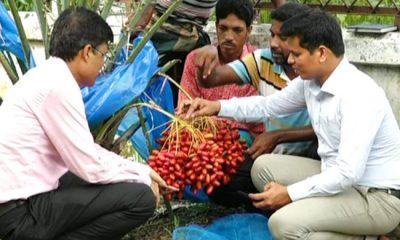 বাংলাদেশেই ফলছে মরিয়ম আজওয়া আম্বার
