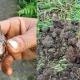 বাকৃবিতে ক্ষতিকর শামুকের প্রাদুর্ভাব, হুমকির মুখে কৃষি