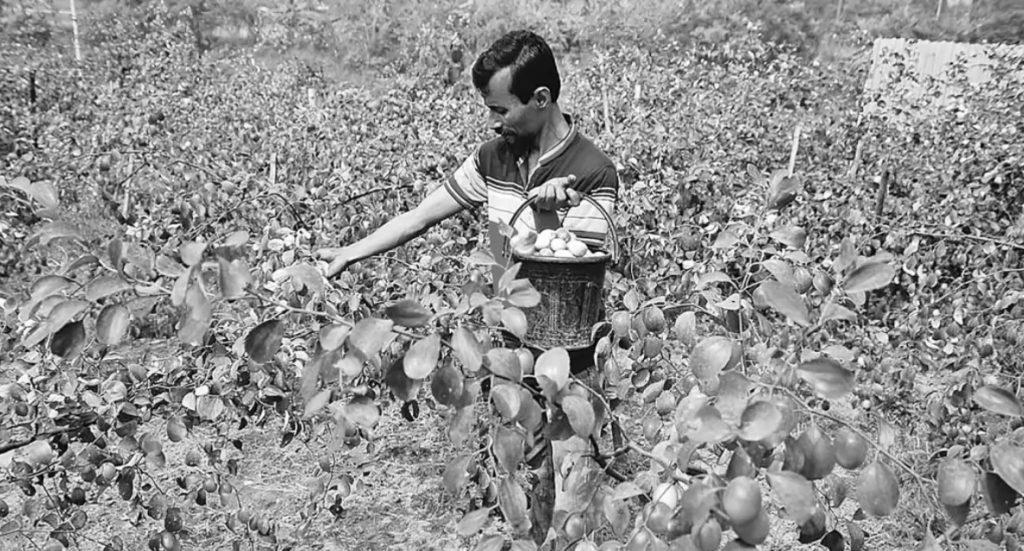 কুমিল্লার আদর্শ সদর উপজেলার ঝাকুনিপাড়া গ্রামে খেত থেকে কাশ্মীরি বরই তুলছেন কৃষক আবুল কাসেম। গতকাল বেলা ১১টায়। ছবি: প্রথম আলো