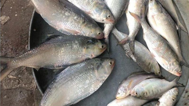 নদী থেকে ধরে আনা তাজা ইলিশ মাছ বিক্রির জন্য সাজিয়ে রাখা হয়েছে