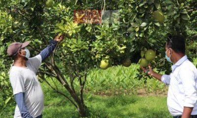 গাছে ধরেছে টকমিষ্টি স্বাদের 'জাম্বুরা'