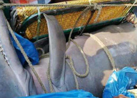 জেলের জালে ধরা পড়েছে ৪ মণ ওজনের ডলফিন