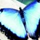 নীল পিগমি প্রজাপতি