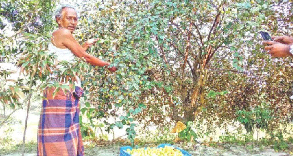 কোটালীপাড়ার জহরকান্দি গ্রামে গাছ থেকে কুল সংগ্রহ করা হচ্ছে। সাম্প্রতিক ছবি। প্রথম আলো
