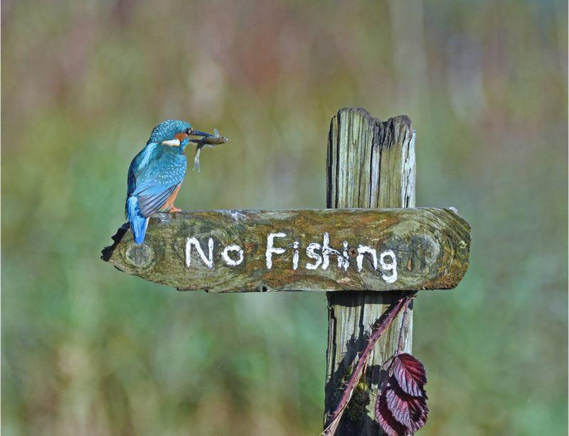 'শুধু ঠাট্টা করছি' - স্কটল্যান্ডে 'মাছ ধরা নিষেধ' ফলকের ওপর মাছ মুখে এক মাছরাঙা- ছবি তুলেছেন স্যালি লয়েড জোন্স I