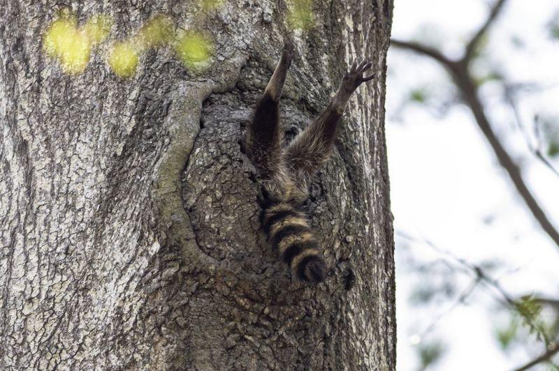 'দাঁড়াও না - এখুনি উঠছি' - ভার্জিনিয়ায় রাকুন প্রজাতির এই গেছো বিড়ালের ছবিটি তুলেছেন চার্লি ডেভিডসন