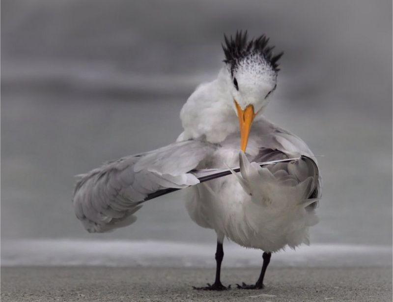 গাংচিল প্রজাতির সামুদ্রিক পাখি তার ডানা সুরে বেঁধে নিচ্ছে- ছবি তুলেছেন ফ্লোরিডার ড্যানিয়েল ডি আরমো