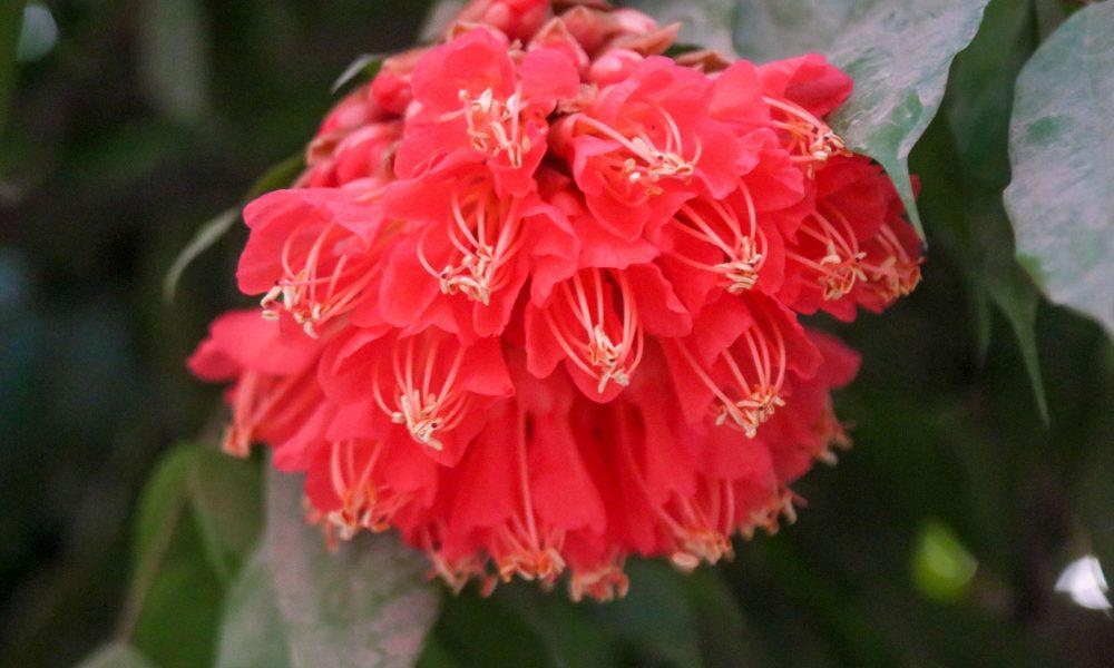 নিসর্গী বিপ্রদাশ বড়ুয়ার 'গাছপালা তরুলতা ও নগরে নিসর্গ' বইয়ে ফুলটিকে 'পাখি ফুল' (Brownea coccinea) নামেই উল্লেখ করা হয়েছে।