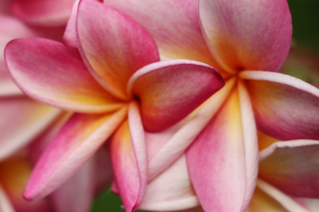 লাল কাঠগোলাপ ফুটে আছে ডালে। ফুলের বৈজ্ঞানিক নাম (Plumeria lutea) । মিলনপুর মাভিলা, খাগড়াছড়ি।