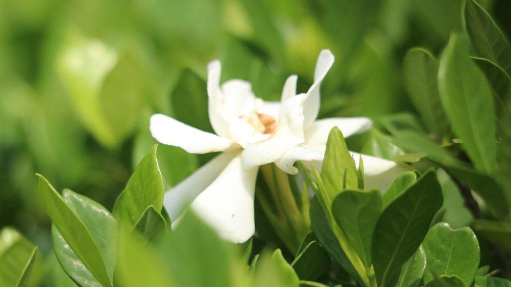 গন্ধরাজ ফুল। বৈজ্ঞানিক নাম (Gardenia jasminoides)। এটি রুবিয়েসি পরিবারের অন্তর্ভুক্ত। রাজ্যমনিপাড়া, খাগড়াছড়ি।
