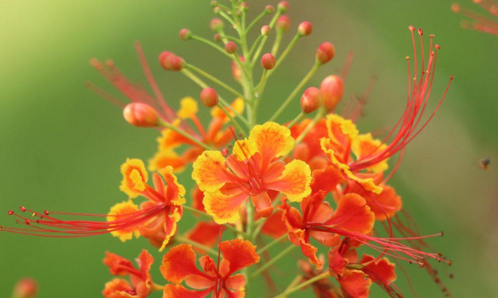 রাধাচুড়া ফুলের বৈজ্ঞানিক নাম (Caesalpinia pulcherrime)। এটি মাইমোসেসি পরিবারের অন্তর্ভুক্ত। আড়াইমাইল, খাগড়াছড়ি।