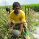 বারোমাসি বেবি তরমুজ চাষ করে বাম্পার ফলন