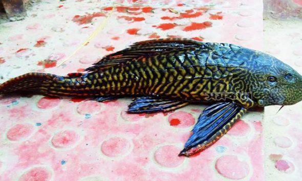 বিরল প্রজাতির মাছ ধরা পড়ল শিকারির জালে